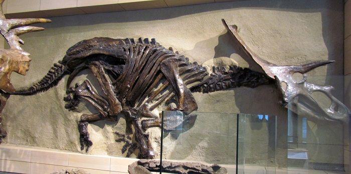 Restos y descubrimiento del Anchiceratops