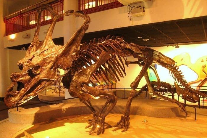 Chasmosaurus situado en la Academia de Ciencias Naturales de Philadelphia