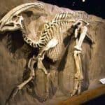 restos fósiles encontrados del parasaurolophus