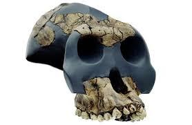 craneo australopithecus gahri